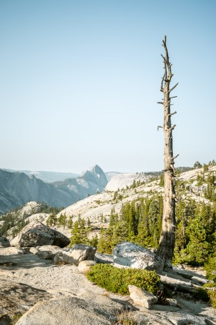 Dead Pine and Half Dome -- Olmsted Point, Yosemite NP, California, United States