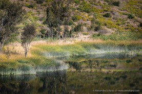 Curving Reed -- Lake Hodges, San Diego, California