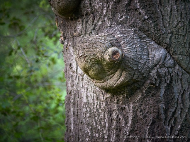 Stubby branch on an oak resembles the head of a turtle, at Daley Ranch, Escondido, California