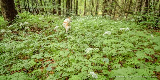 Miss Toni goes exploring -- Adlgass, Inzell, Bavaria