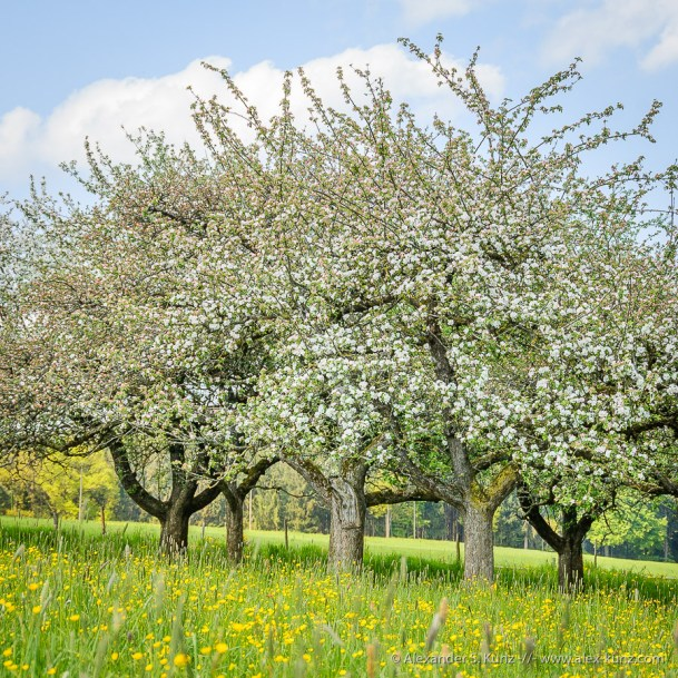 Fruit Trees in Bloom near Tettenhausen, Bavaria, Germany. May 2008.