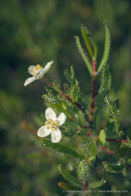 Dewdrops on Bushrue, Del Mar Mesa Preserve, San Diego, California, March 2017.