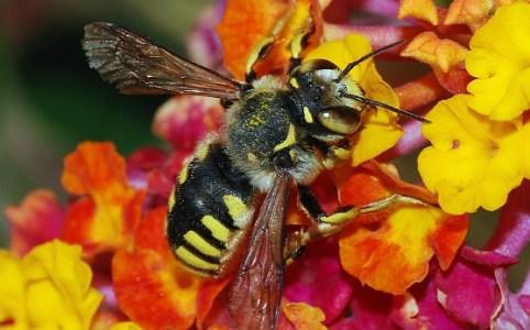 Biene auf Blume von Alvesgaspar unter den Bedingungen der CC 3.0 (BY-SA)