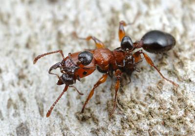 https://i2.wp.com/www.alexanderwild.com/Ants/Taxonomic-List-of-Ant-Genera/Podomyrma/gratiosa7a/642063036_SCBe4-S.jpg