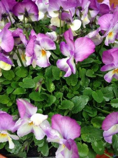 Spring violas