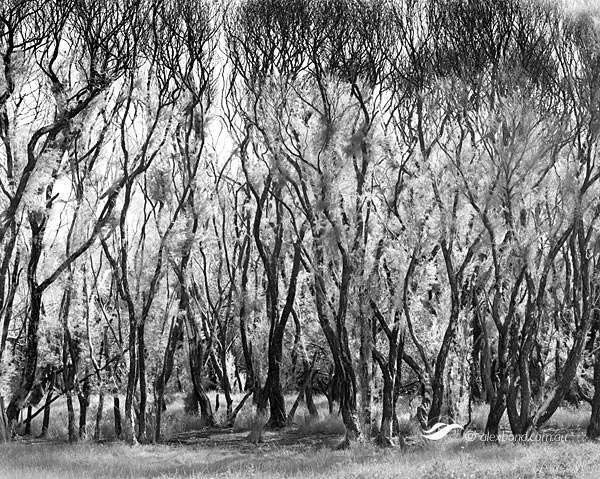 Paperbark regrowth fire Canning River Perth