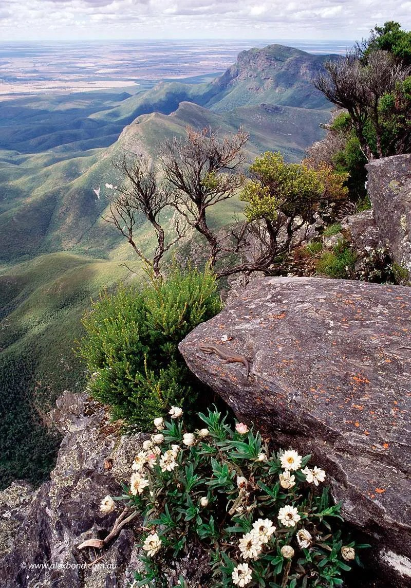 Bluff Knoll Skink Poster 48x70cm - Postage within Australia included