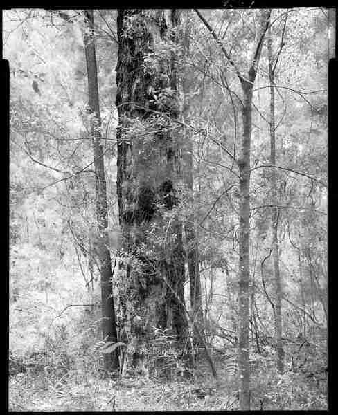 Blackbutt karri hazel Shannon Western Australia 10-33-02