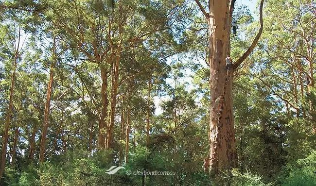 Gloucester Tree Pemberton Postcards Southern Forests