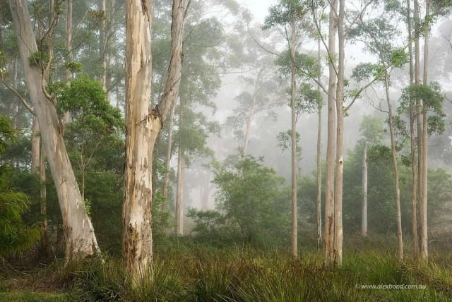 Karri Trees in Mist Pemberton - Print Only