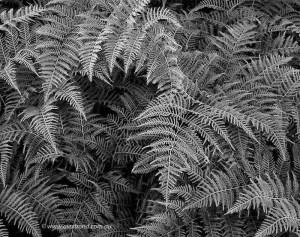 bracken ferns augusta western australia