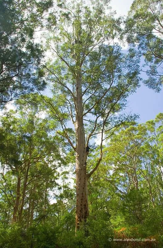 Gloucester karri tree, 61 metres, Gloucester National Park