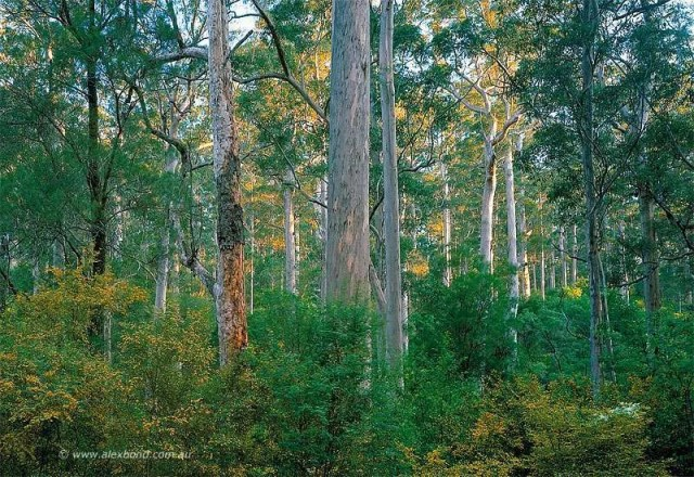 Karri forest and Water Bush, Beedelup National Park Pemberton