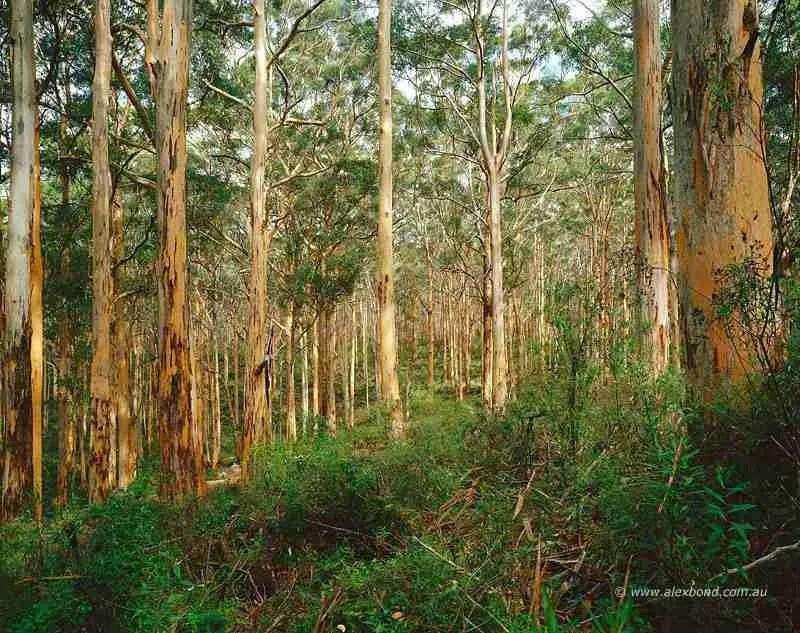 karri forest boranup