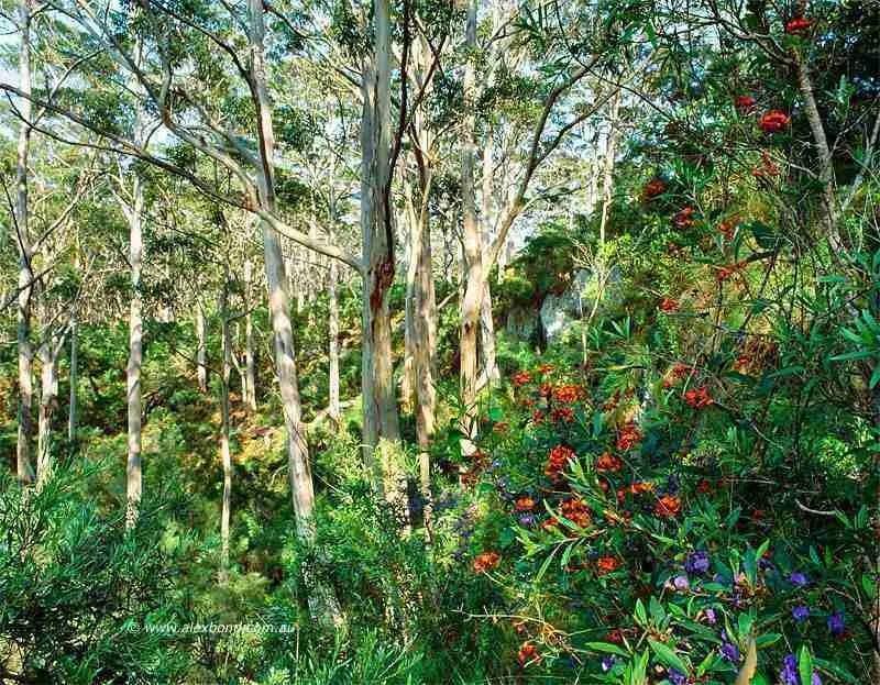 karri forest wildflowers margaret river boranup