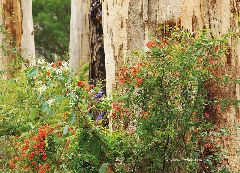 Wildflowers- Coral Vine and Clematis, karri forest Gloucester National Park