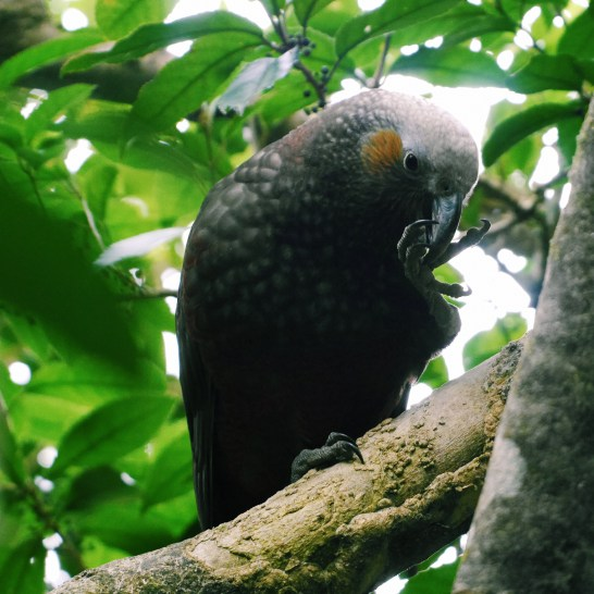 A Kaka eating something delicious from its claws.