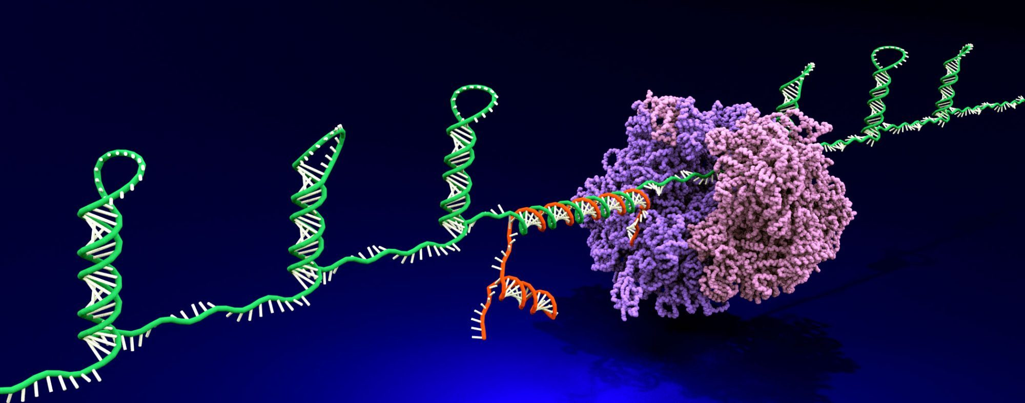 ribocomputing_gate_RNA