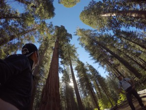 Giants Sequoias @Yosemite