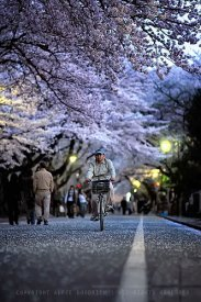 Blossom-lined streets of Yanaka Cemetery, Tokyo