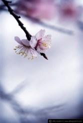 blossom_190308