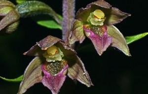 EPIPACTIS TREMOLSII - Orquídia de fulles rodones