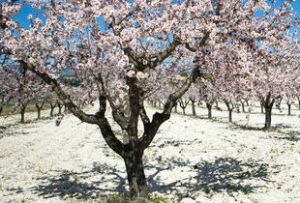 almond blossom algarve