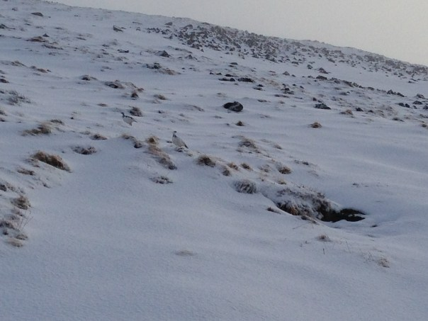 Two ptarmigans in their white winter livery