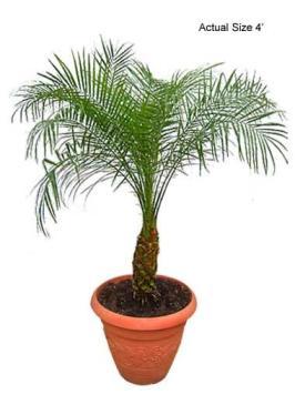 Dwarf Pygmy Date Palm