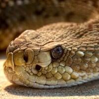 Envenomations: Initial Management of Common U S  Snakebites