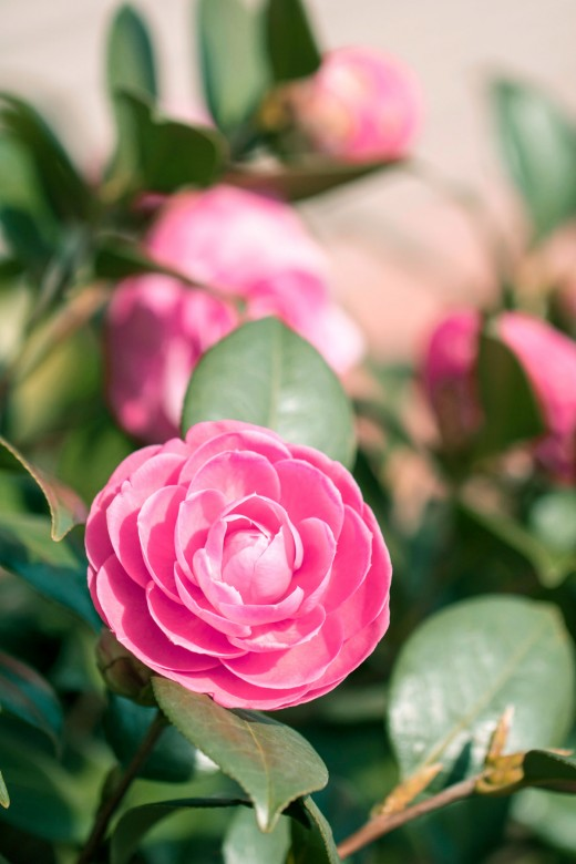 The Japanese camellia flower which is used to make antioxidant-rich camellia oil.