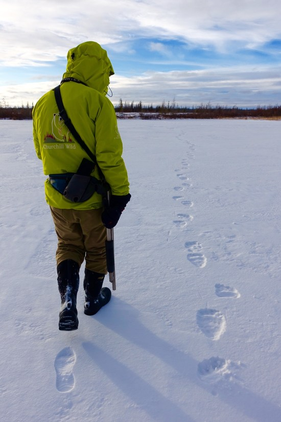 Path Across Frozen Arctic Tundra Was >> Walking With Giants Meeting The Churchill Polar Bears A Life More