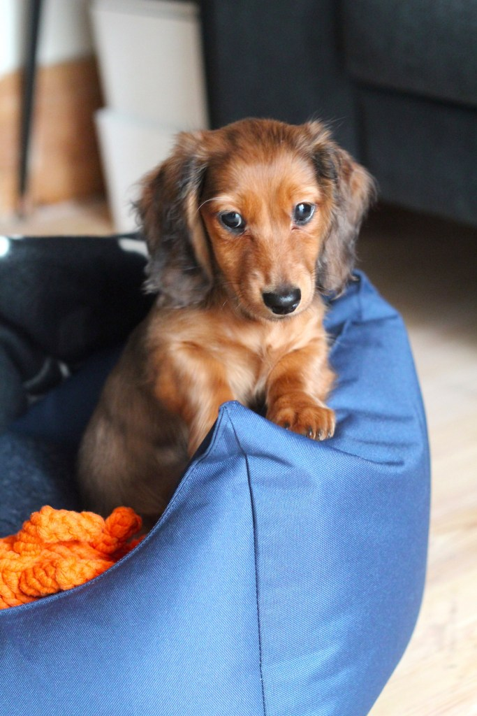 Meet Chip, our Dachshund Puppy