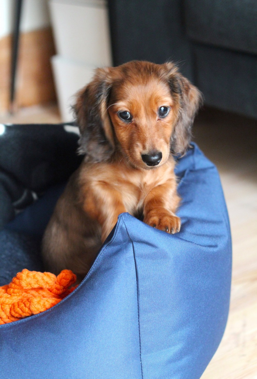 long haired sausage dog puppy