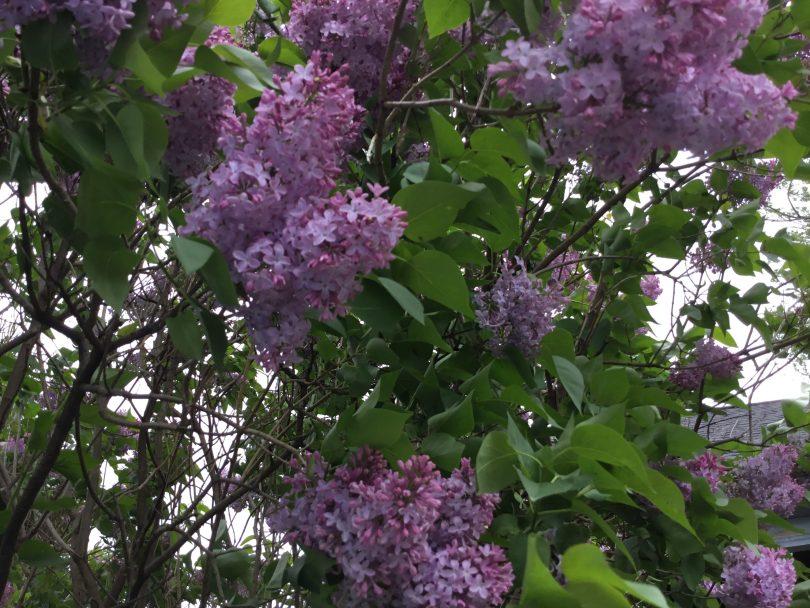 Purple lilac bush