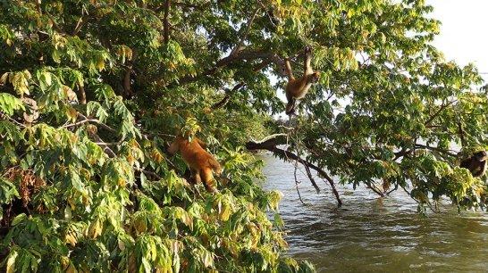 monkeys in nicaragua