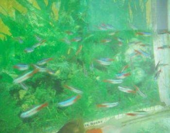Cara Budidaya Ikan Hias Air Tawar Yang Mudah Dipelihara