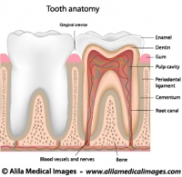 tooth Archives  Medical Information Illustrated