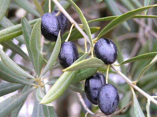 Nuestro oro líquido: el aceite de oliva español