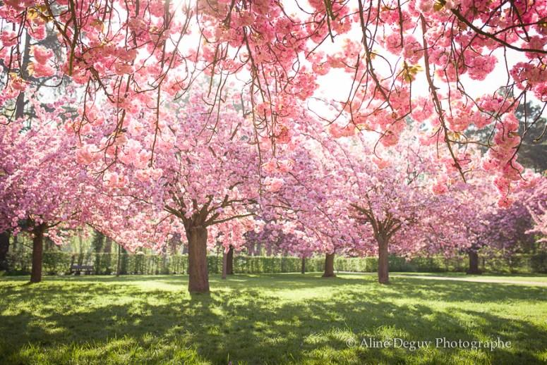 parc de sceaux, cerisiers en fleurs, shooting, séance photo, aline deguy