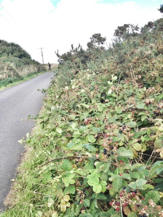 Blackberries on our walk by The North Sea