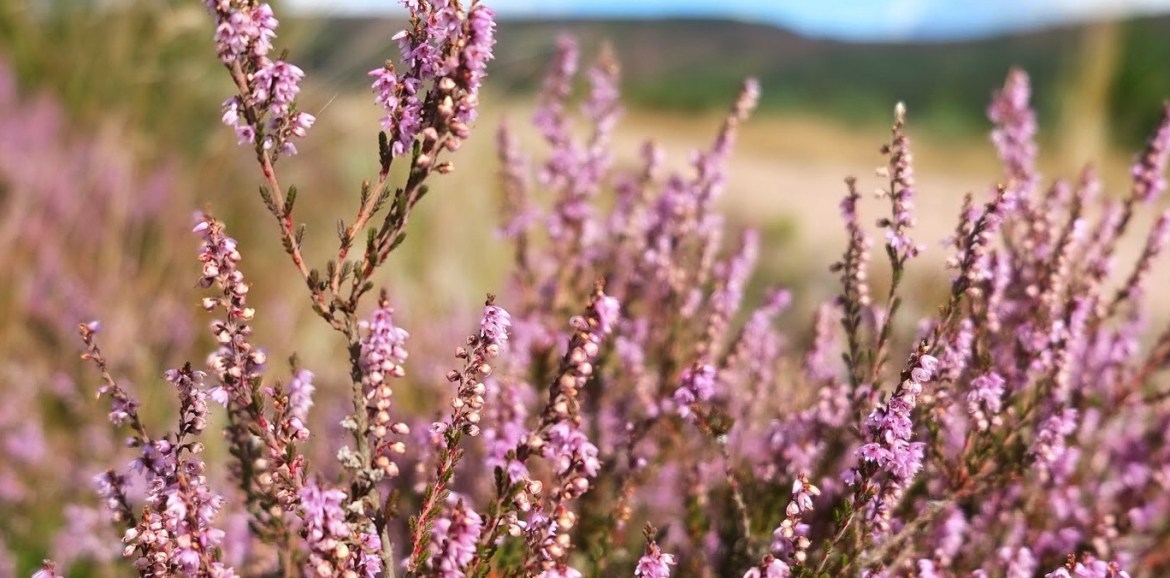 Scotland, Aberdeenshire, Heather, 48walks