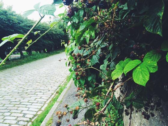 Blackberries, Chasing Daylight, Scotland, Aberdeen, September