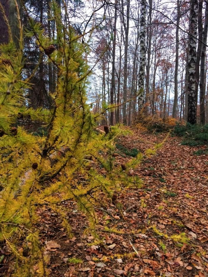 German Larch Tree, Snapshots of Fall in Germany, Autumn, Deutschland, Tubingen,