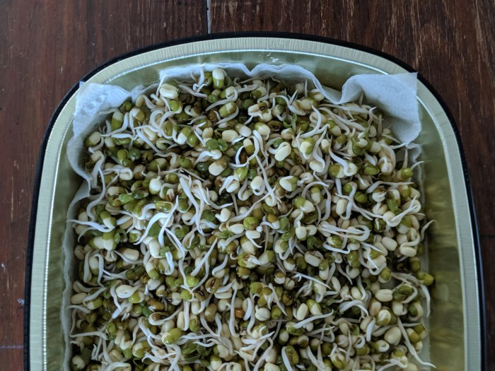sprouting mung beans