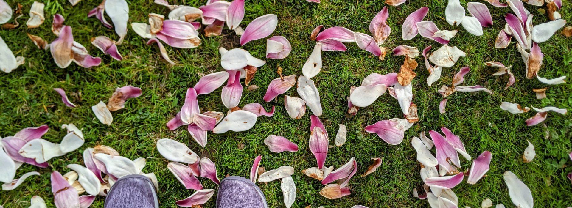 Graveyard Walking, Magnolia lilliflora petals, Chippiannock Cemetary