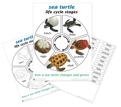 Montessori Materials Life Cycle Of A Sea Turtle