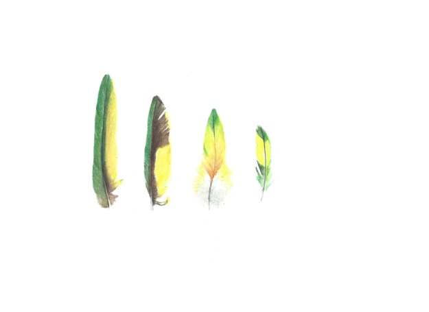 21mar15 rainbow lorikeet feathers1