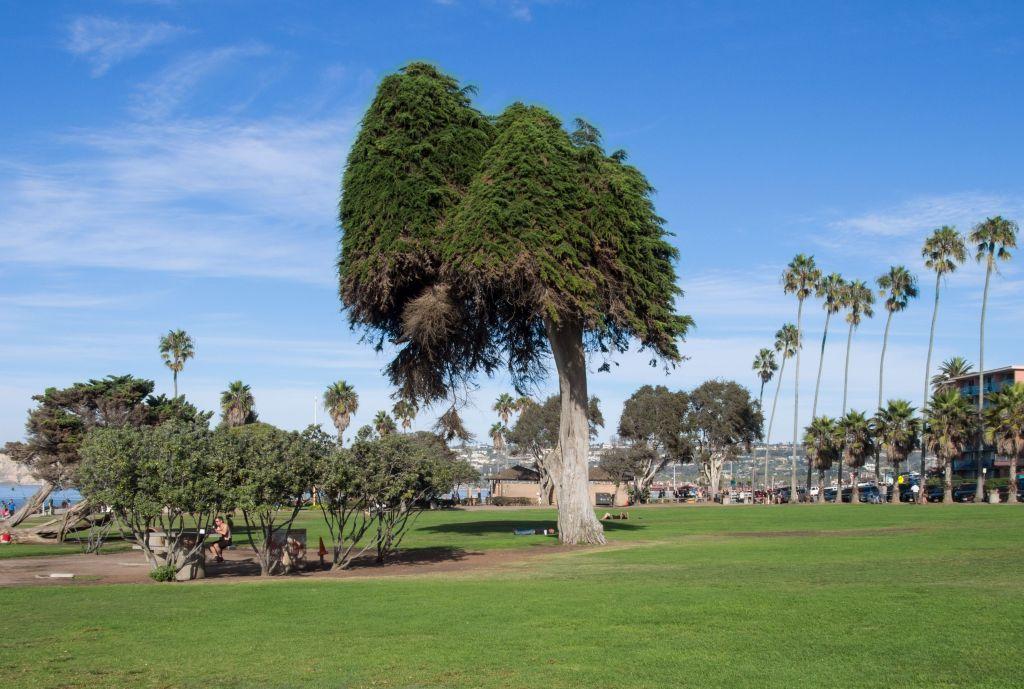 real truffula tree dr seuss