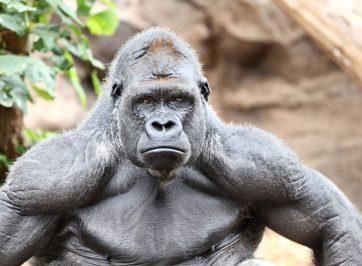 strong gorilla